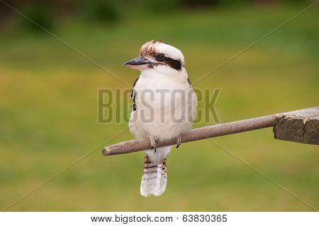 Kookaburra In The Garden