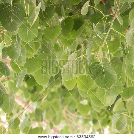 Cordate Leaf