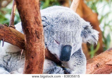 Adorable Koala Bear Taking A Nap Sleeping On A Tree