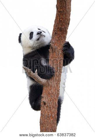 Giant panda clambing,isolated on white background