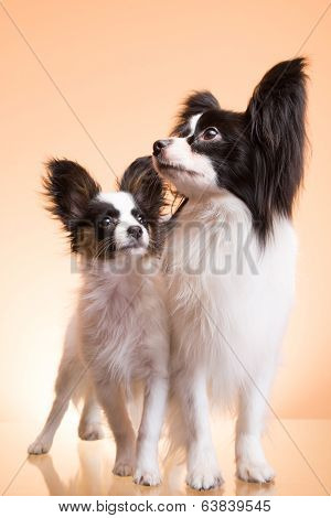Two Papillon Dogs On Pink Background