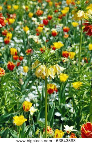 Fritillaria and tulips