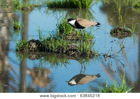 Spur-winged Lapwing (vanellus Spinosus) On A Grassy Island Reflected In Water