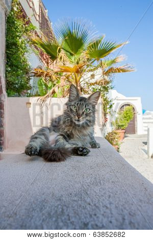 Cat relaxing in Thira Santorini