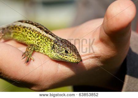 Small Lizard Lacerta Agilis In Hand