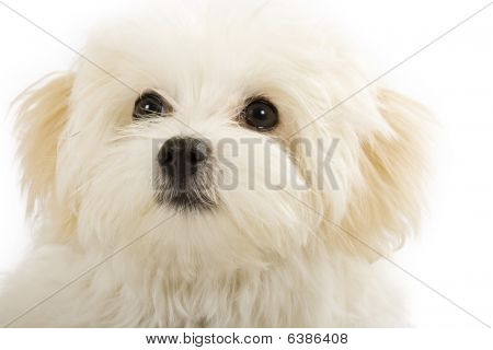 Adorable Bichon Frise