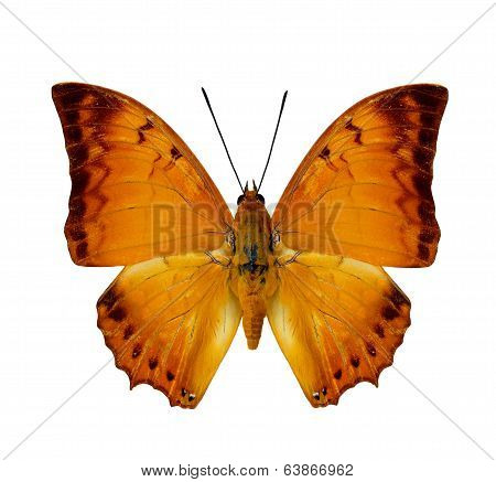 Malay Rajah Butterfly Upper Wing Profile In Natural Color Isolated On White Background