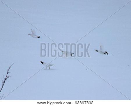 4 grouse fleeing