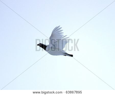 A flying grouse