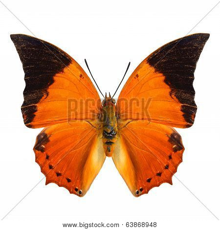 The Common Tawny Rajah Butterfly Upper Wing Profile In Natural Color Isolated On White Background