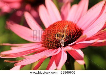 Echinacea Purpurea Flower And A Working Bee