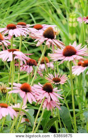 Echinacea Flowers ( Cone Flowers )