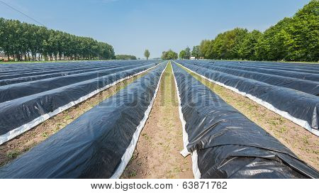 Asparagus Beds Covered With Black Plastic Foil