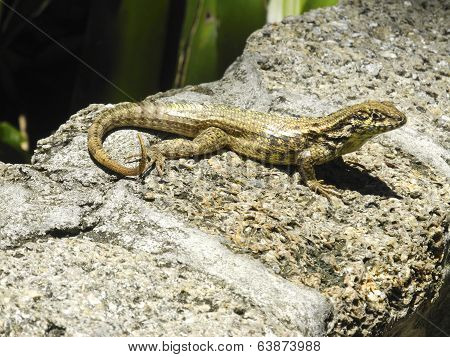 A Florida Curly Tailed Lizard