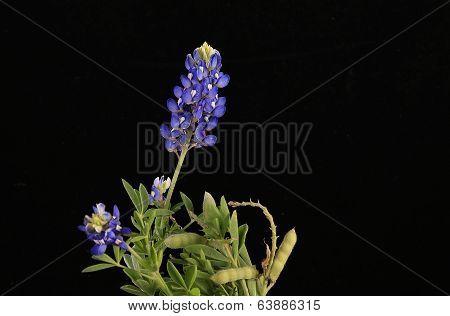 Seed Pods On Bluebonnet