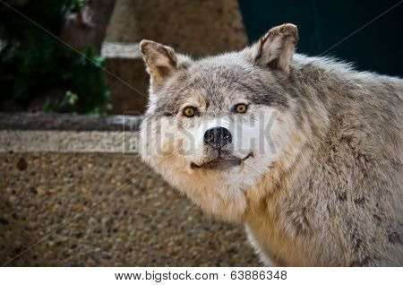 Grey Wolf Taxidermy
