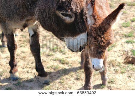 Donkey mother nuzzling newborn foal