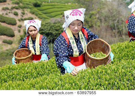 Japanese woman harvesting tea leaves