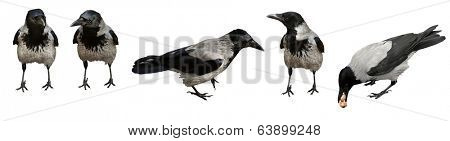 Five crow birds standing on white background. Isolated with path.
