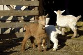 stock photo of baby goat  - Baby goats at farm in barn in spring - JPG