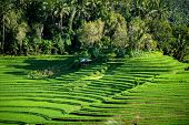 picture of rich soil  - A view of the terraced rice fields on the rich fertile volcano soil hills of Bali - JPG