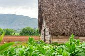stock photo of tobacco leaf  - Tobacco plantation and tobacco curing barn at the famous Vinales Valley in Cuba - JPG