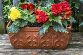 foto of begonias  - A terracotta planter filled with colorful  - JPG