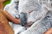 stock photo of koalas  - adorable koala bear taking a nap sleeping