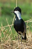 image of spurs  - A Spur-Winged Lapwing (Vanellus Spinosus) on alert on a grassy bank