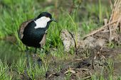 foto of spurs  - A Spur-Winged Lapwing (Vanellus Spinosus) on a grassy island in a marsh