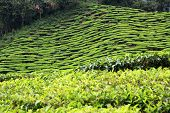 pic of cameron highland  - Tea plantation on hill slopes of Cameron Highlands - JPG