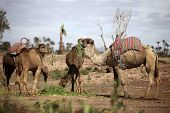 pic of dromedaries  - Several dromedaries in the West Sahara in Marrakech - JPG