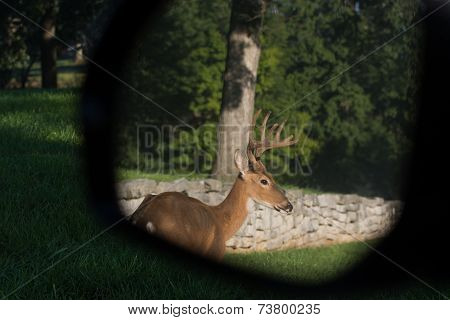 White-tailed Deer In Rearview Mirror