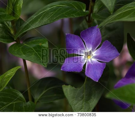 Blue periwinkle, vinca major