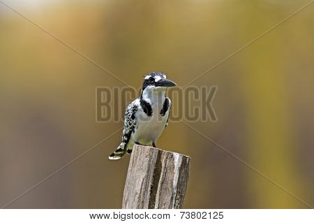 Pied Kingfisher In The National Park Lake Naivasha