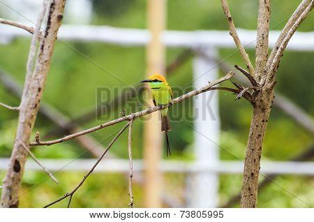 Little Green Bee Eater Bird