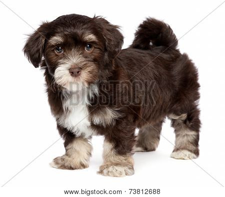 Cute Dark Chocholate Havanese Puppy Dog Is Standing