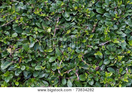 green background branches of siamese rough bush