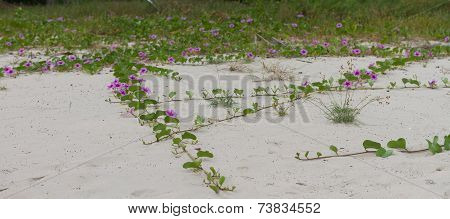 Goat's Foot Creeper or Beach Morning Glory