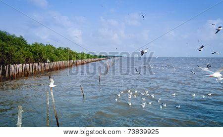 Panorama View Of  Seagull Is A Bird Migration To Bangpu