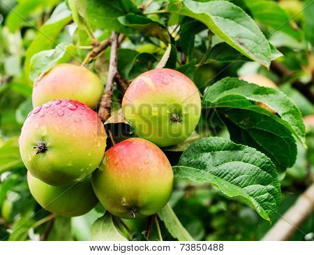 Four apples on a branch of an apple-tree