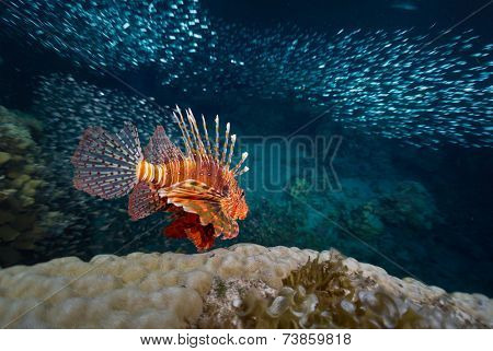 Red lion fish swimming over coral reef surrounded its prey - school of tiny fish. Red Sea. Egypt