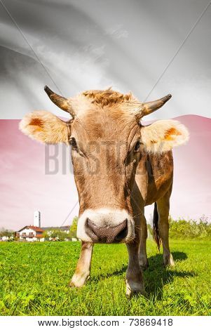 Cow With Flag On Background Series - Poland