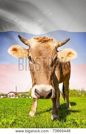 Cow With Flag On Background Series - Russia