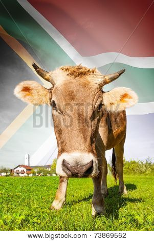 Cow With Flag On Background Series - South Africa