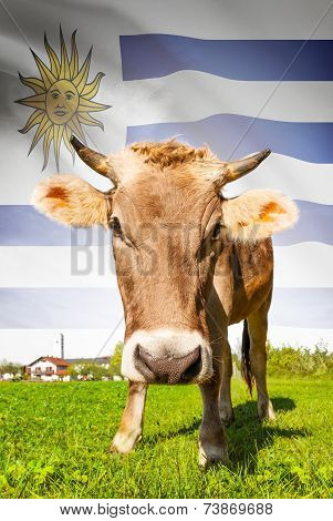 Cow With Flag On Background Series - Uruguay