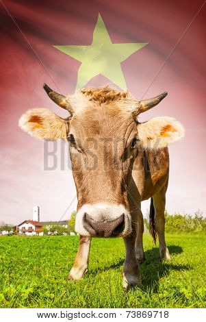 Cow With Flag On Background Series - Vietnam