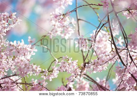Spring cherry blossom with young green leaves and blue sky in background.