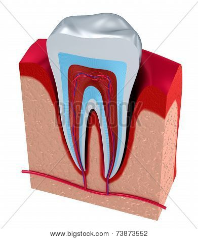 Section of the tooth. pulp with nerves and blood vessels.