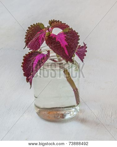 Entrenched Graft Coleus